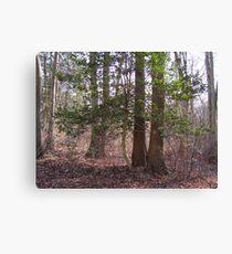 Holly  tree... Canvas Print