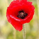 Poppy by John Wallace
