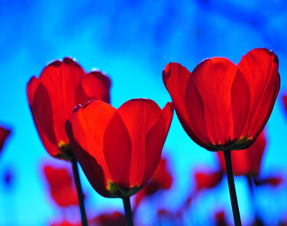 Red Tulip against Bright Blue Sky by Colin Leal