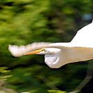 Low Flying Great Egret by Dawne Dunton