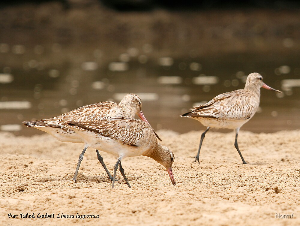 Bar-tailed Godwit by Normf