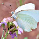 Great Southern White by Dawne Dunton