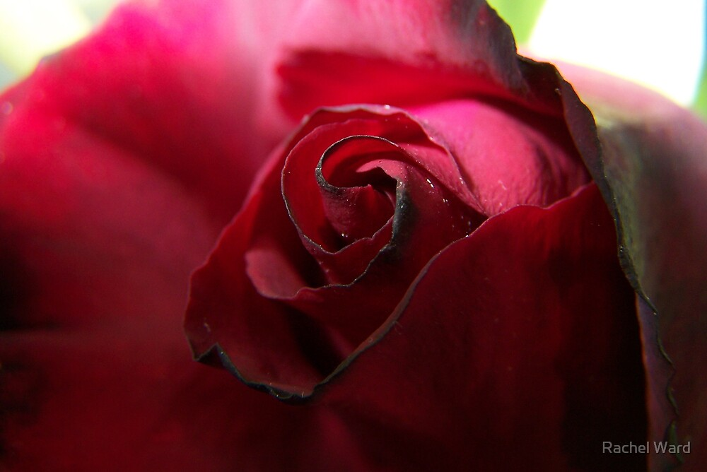 Red Rose by Rachel Ward