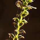 Common Mignonette Orchid by Paul Amyes