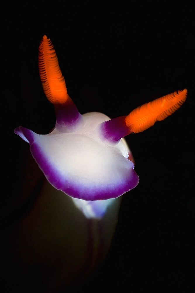 Hypselodoris bullockii by Ross Gudgeon