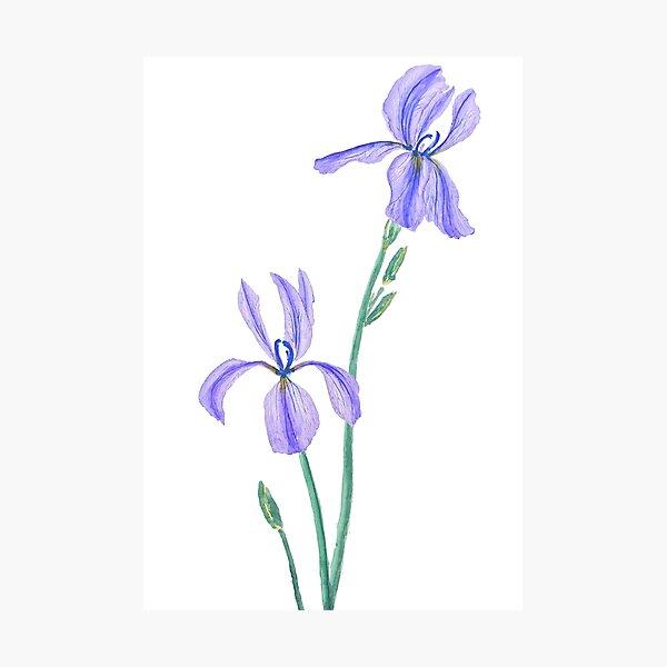 two elegant purple iris watercolor  Photographic Print