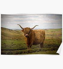 Highland Cow - The Peak District Poster