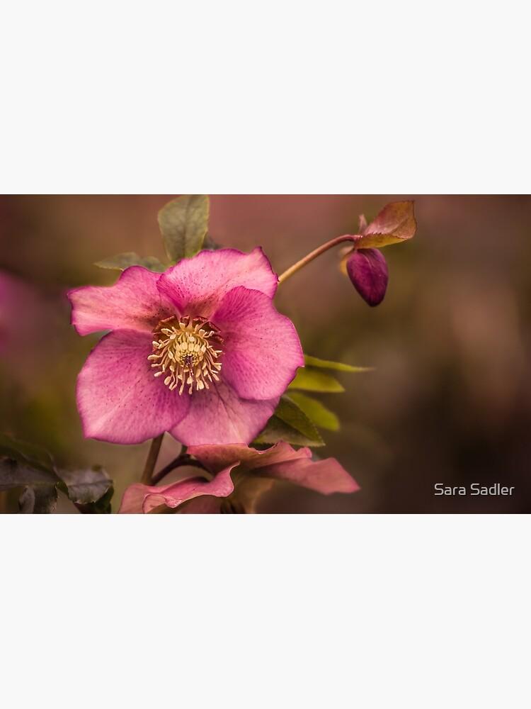 Christmas Rose by sadler2121