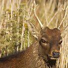 Sika Deer by KSkinner