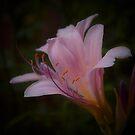 Lily I by KSkinner