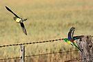 Red-rumped Parrot pair (Psephotus haematonotus) by Normf
