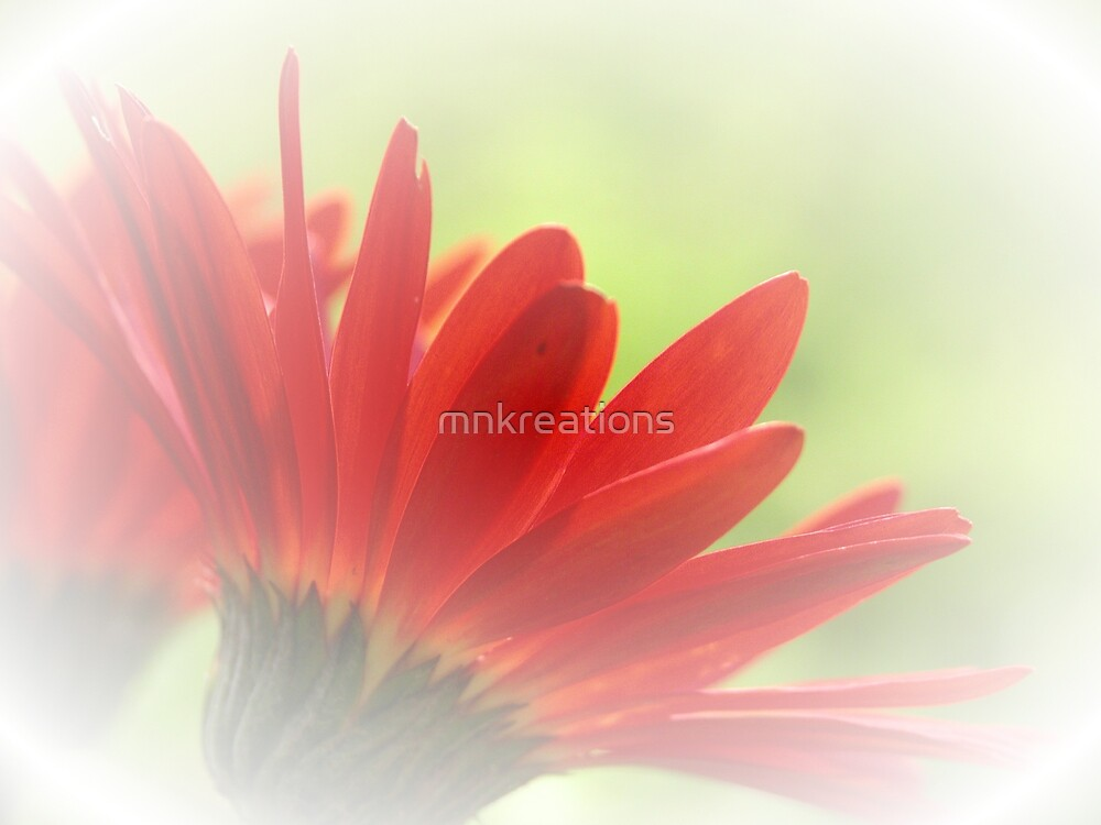 Red Gerbera Daisy by mnkreations