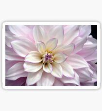 Beautiful white dahlia flower Sticker