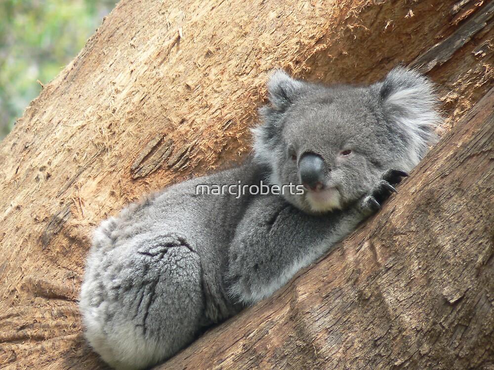 Koala by marcjroberts