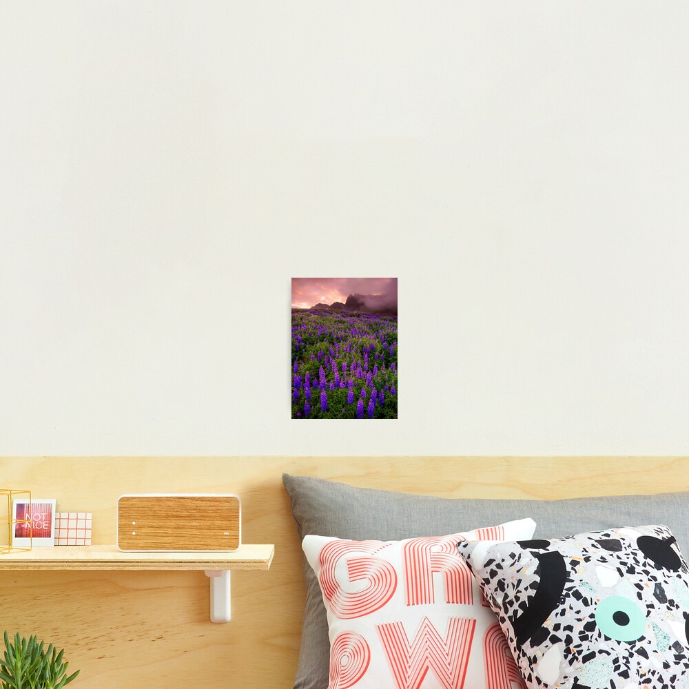 Sunrise over the Lupins Photographic Print