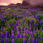 Sunrise over the Lupins by Paul Pichugin