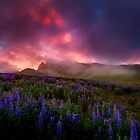 Lupins under the Midnight Sun by Paul Pichugin