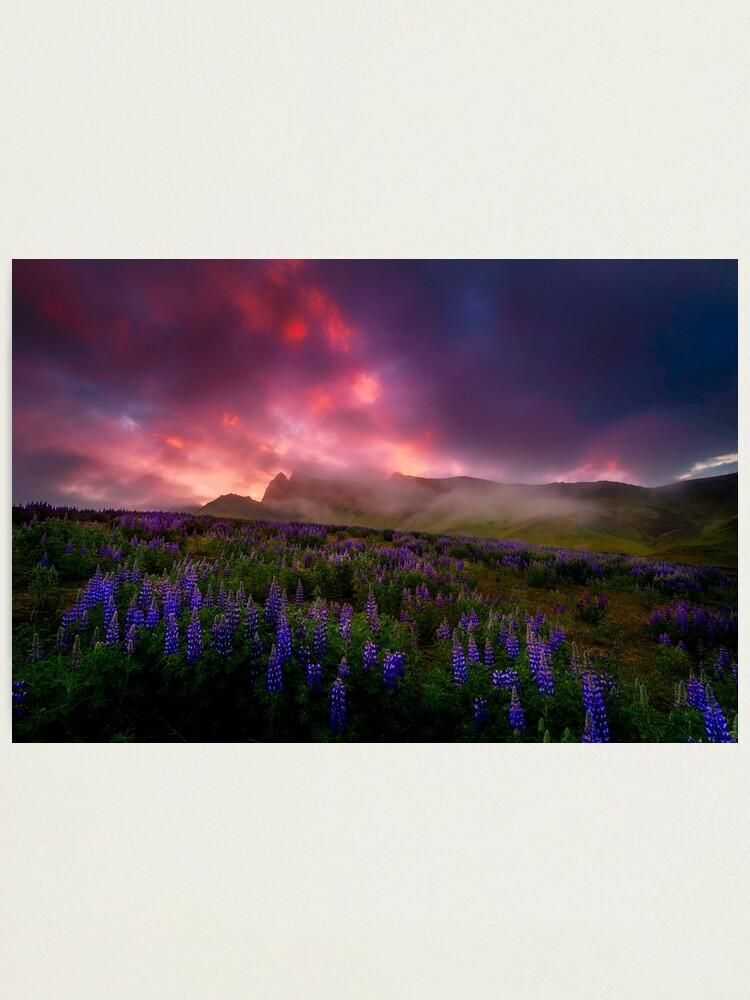 Alternate view of Lupins under the Midnight Sun Photographic Print