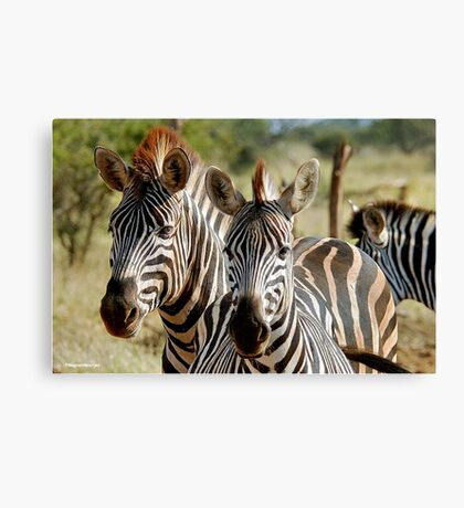 FOUR EYES WATCHING - BURCHELL'S ZEBRA – Equus burchelli – Bontkwagga Canvas Print