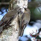 White-throated Treecreeper by triciaoshea