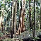 Curtis Falls Rainforest by W E NIXON  PHOTOGRAPHY