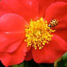 Governor General's Rose 8 - with a visitor by Shulie1