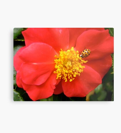Governor General's Rose 8 - with a visitor Metal Print