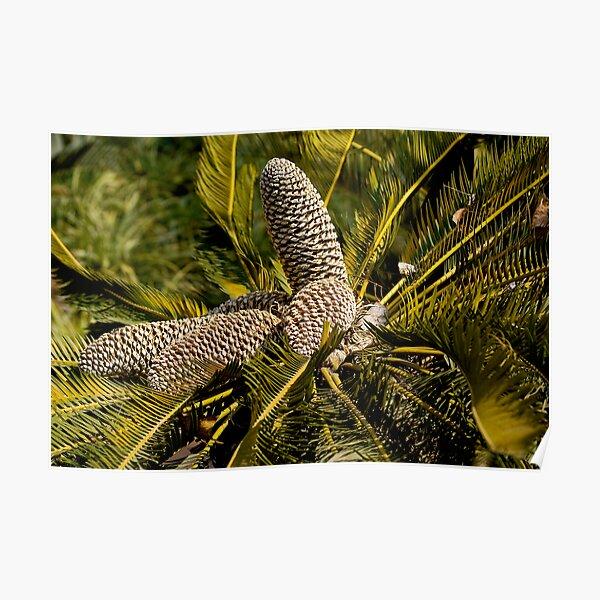 Drakensberg Cycad Cones, Encephalartos ghellinckii Poster