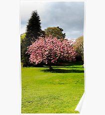 Cherry Blossom Tree, Wrest Park, Bedfordshire Poster