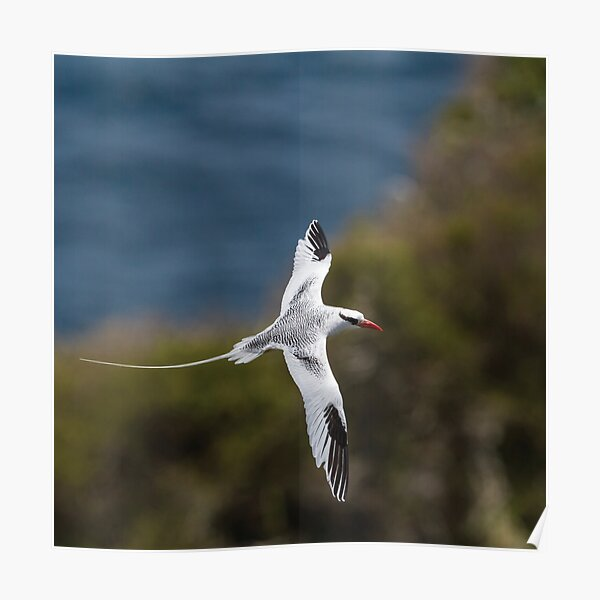 Red-billed Tropicbird Poster