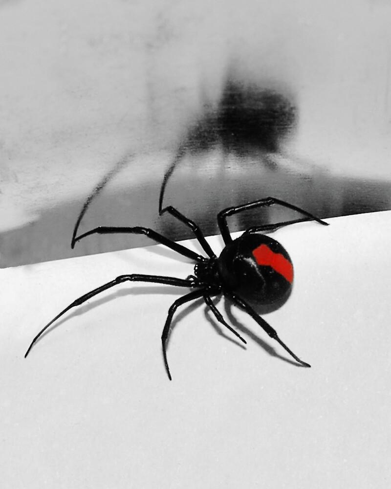 redback spider by IslandBreeze