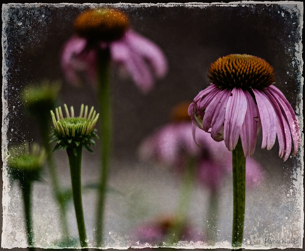 Purple Cone Flower by Rene Hales