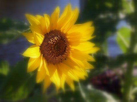 Sunflower by Tiaralynn