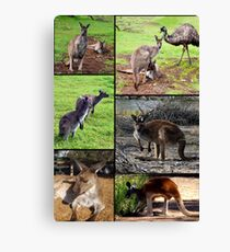 Aussie Kangaroos In A Photo Collage Canvas Print
