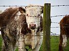 NDVH Cow 1 by nikhorne