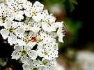 NDVH Flowers 4 by nikhorne