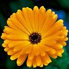 NDVH Flowers 7 by nikhorne