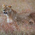 Lion in the Grass, Maasai Mara, Kenya  by Carole-Anne