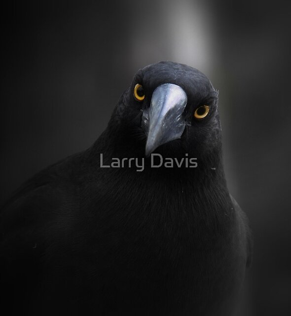 Currawong Gothica  by Larry Davis