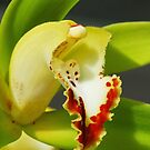 Green and red orchid by bevanimage