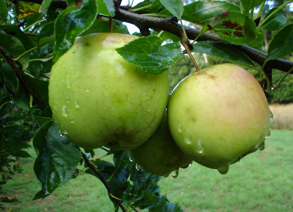 Dewy Tasmanian Apples by tazsnaps