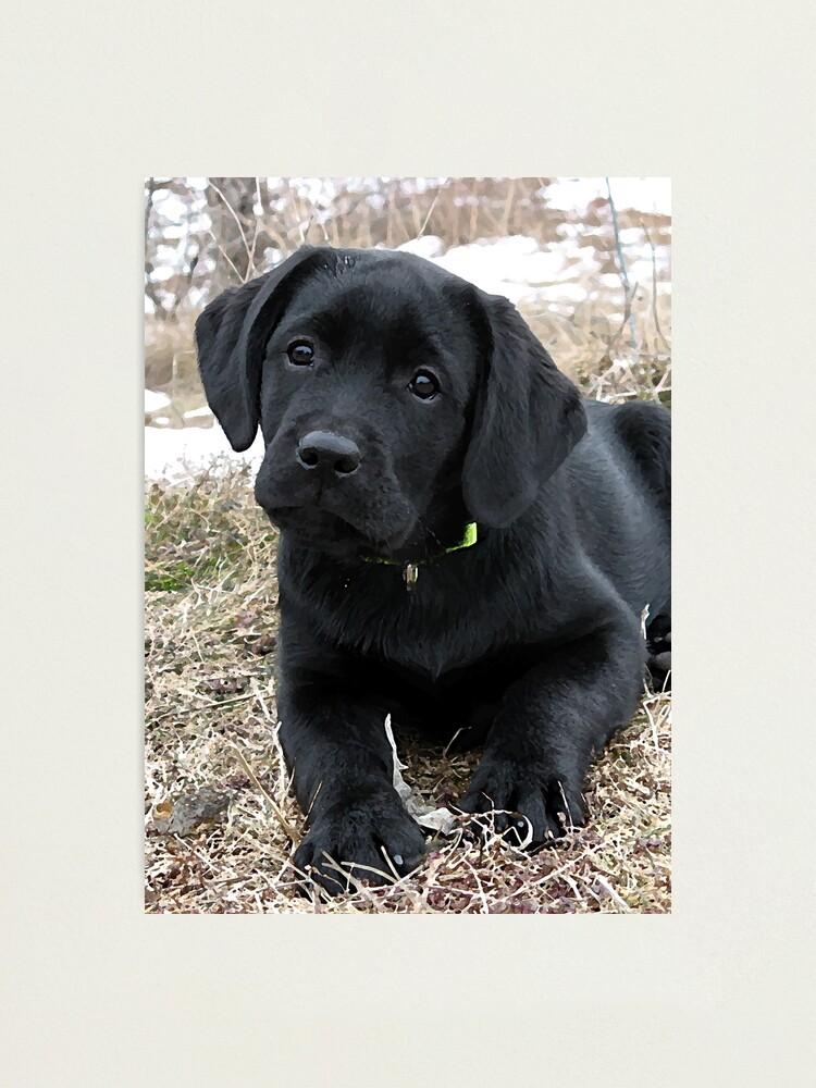 Labrador Retriever vinyl decal//sticker dog animal pet puppy lab hunt