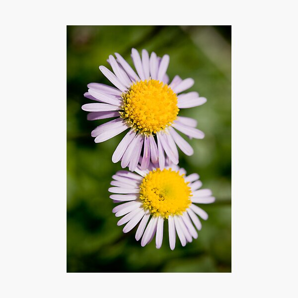 A Real Wild Flower Photographic Print