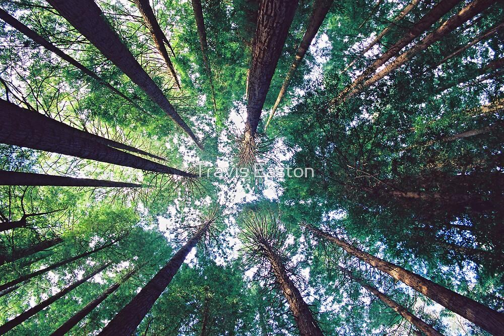 Californian Redwoods by Travis Easton