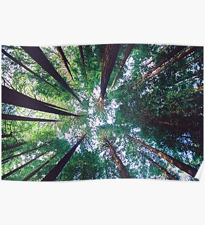 Californian Redwoods Poster