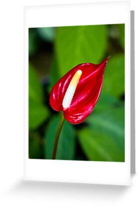 Miniature Deep Red Anthurium Flower  by Kerryn Madsen-Pietsch