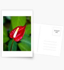 Miniature Deep Red Anthurium Flower  Postcards