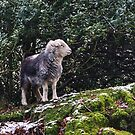 Herdwick and Holly by Jamie  Green