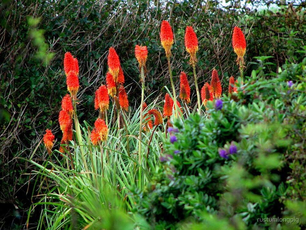 Red hot pokers by rustumlongpig