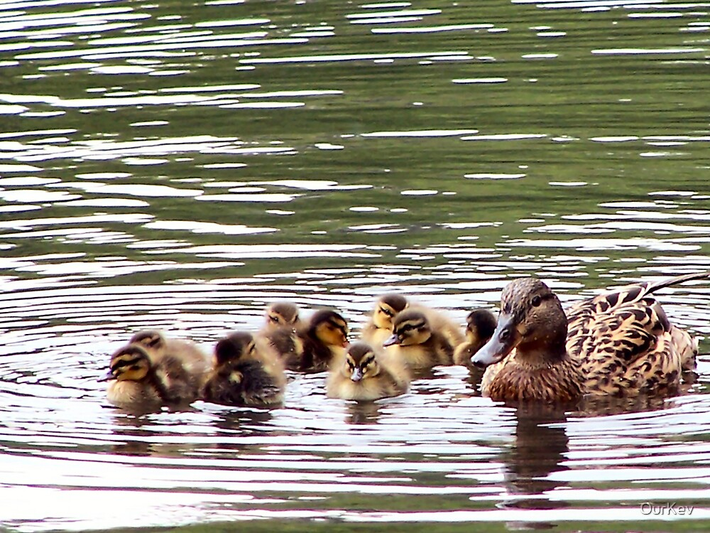 Mom with 10 baby ducklings by OurKev